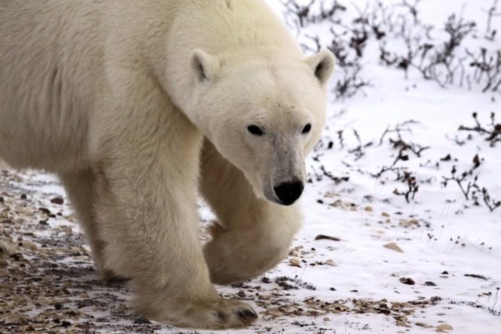 00d-russian-polar-bear-fight-08-12