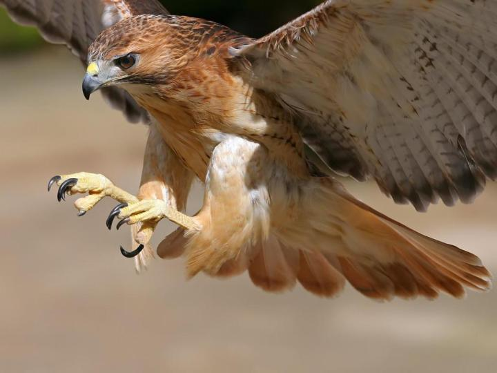 animal - brown eagle swooping down