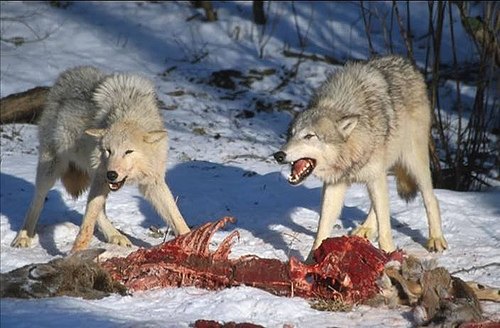 wolf eating